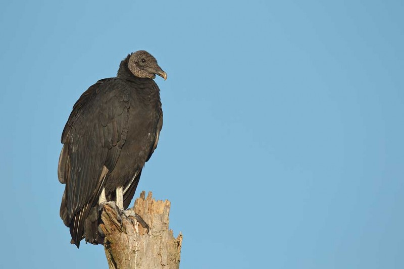 black-vulture-on-dead-tree-_y9c3552-indian-lake-estates-fl