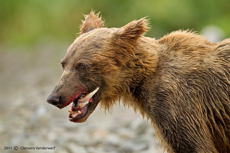 brown-bear-cub-with-salmon-leftover_m7e8926-geographic-harbor-katmai-national-park-ak-iso1000-800mm-f56-1-800_0