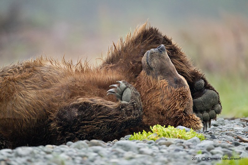 brown-bear-sleeping-on-its-back_m7e0314-kubak-bay-katmai-national-park-ak-iso1250-800mm-f56-1-500_0