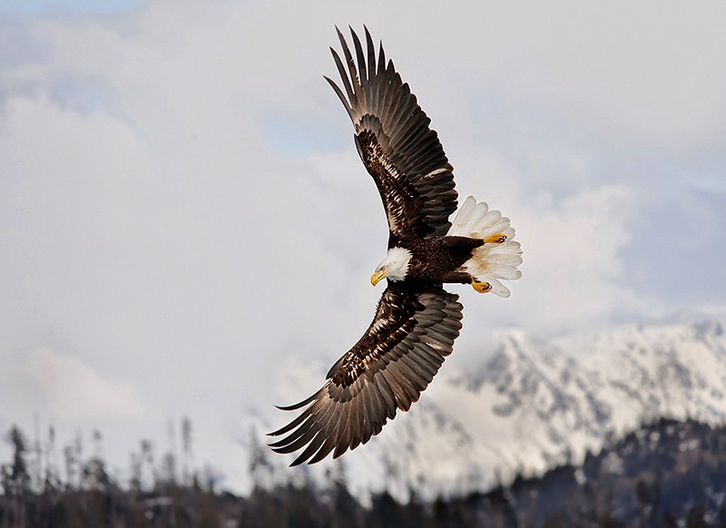 alaska_eagles_ds7_6680v