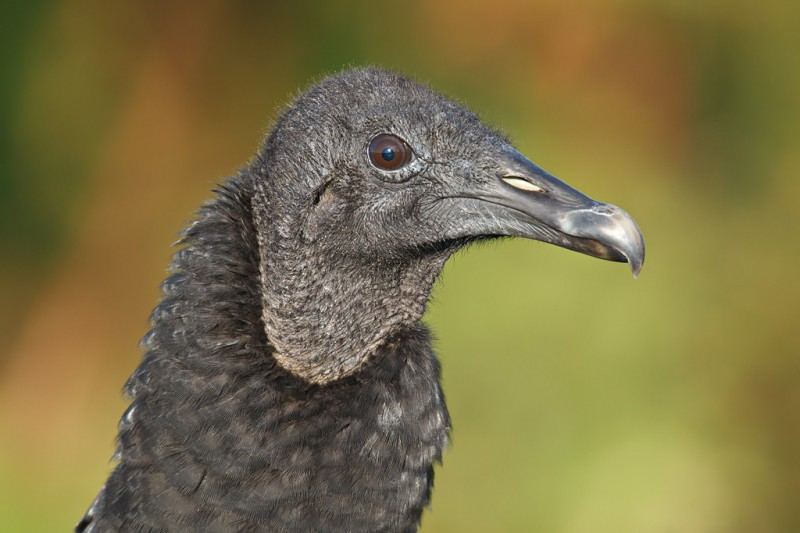 black-vulture-head-portait-bpn-_y9c3797-indian-lake-estates-fl