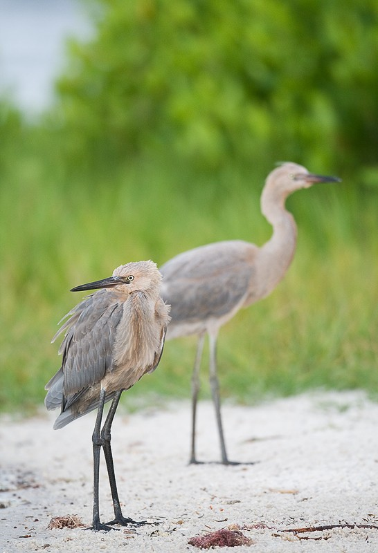 reddish-egrets-fresh-juvenal-plumage-_10j3307-alafia-banks-tampa-bay-fl