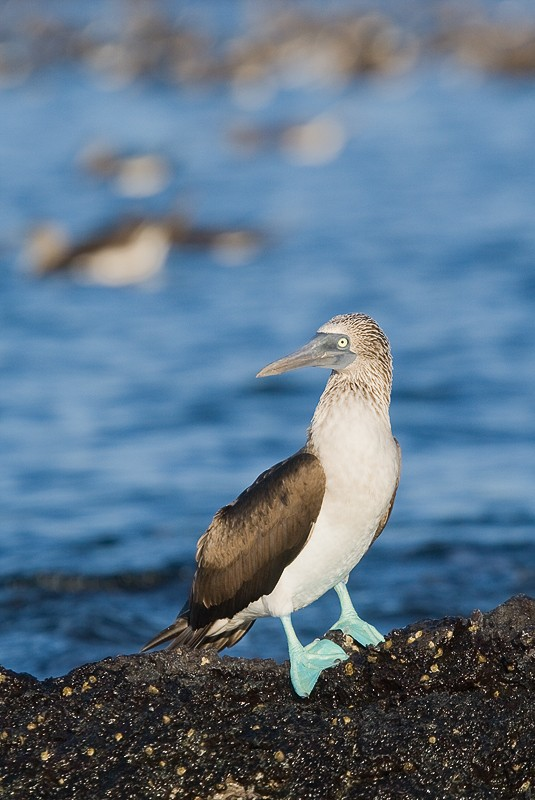 blue-footed-booby-with-boobies-in-bkgr-_10j0588-black-turtle-cove-santa-cruz-galapagos