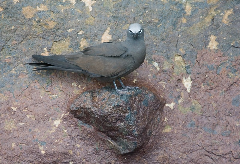 brown-noddy-on-rock-wall-_a7e3436-kicker-rock-san-cristobal-galapagos-ecuador