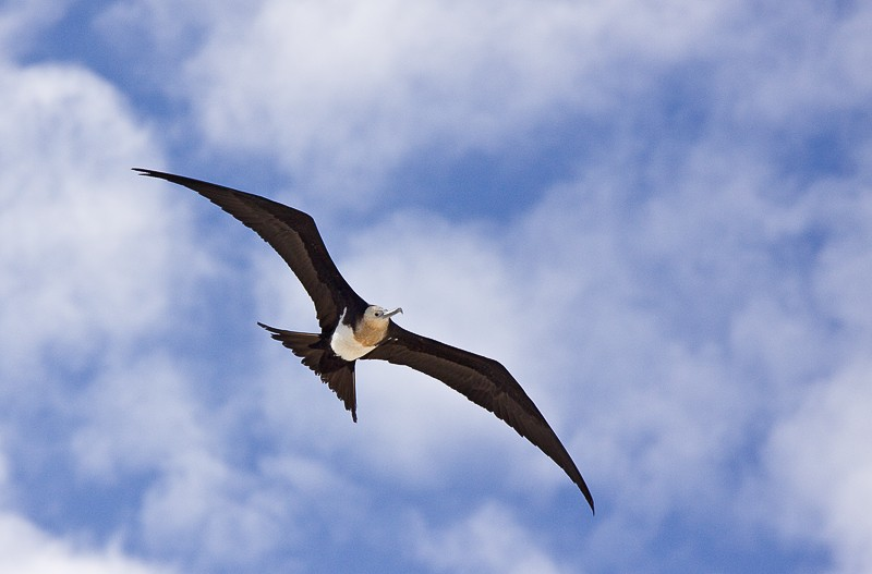 frigatebird-female-in-flight-blue-sky-w-clouds-_mg_0004-darwin-bay-tower-islad-galapagos