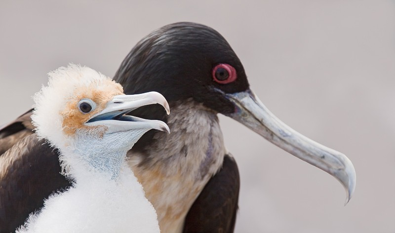 great-frigatebird-improved-with-chick-added-canvas-and-bill-tip-of-adult-_mg_9996-prince-phillips-steps-tower-islad-galapagos