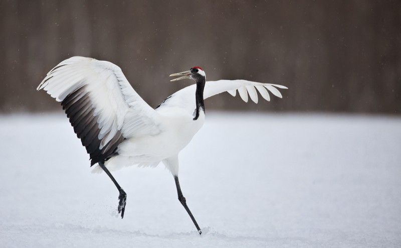 red-crowned-crane-running-w-wings-raised-_mg_3392-akan-crane-center-hokkaido-japan_0