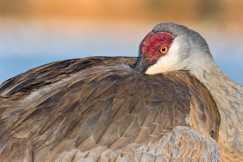 sandhill-crane-resting-head-tucked-in-_a1c0020-indian-lake-estates-fl