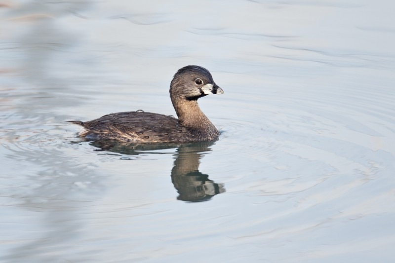 pied-billed-grebe-breeding-plumage-_y9c1405-morro-bay-ca