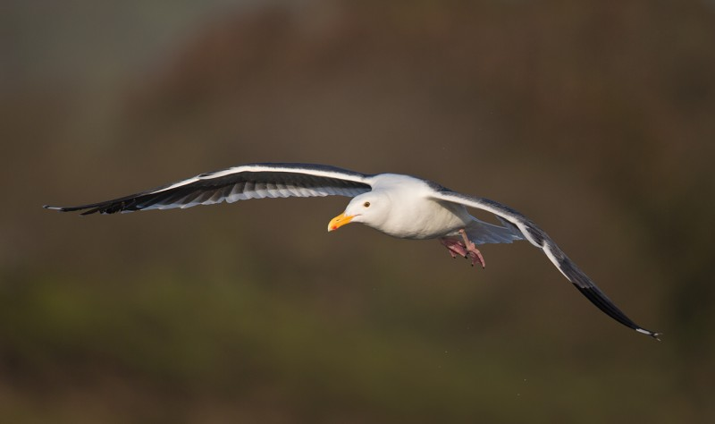 western-gull-in-flight-against-hillside-_a1c3127-morro-bay-ca