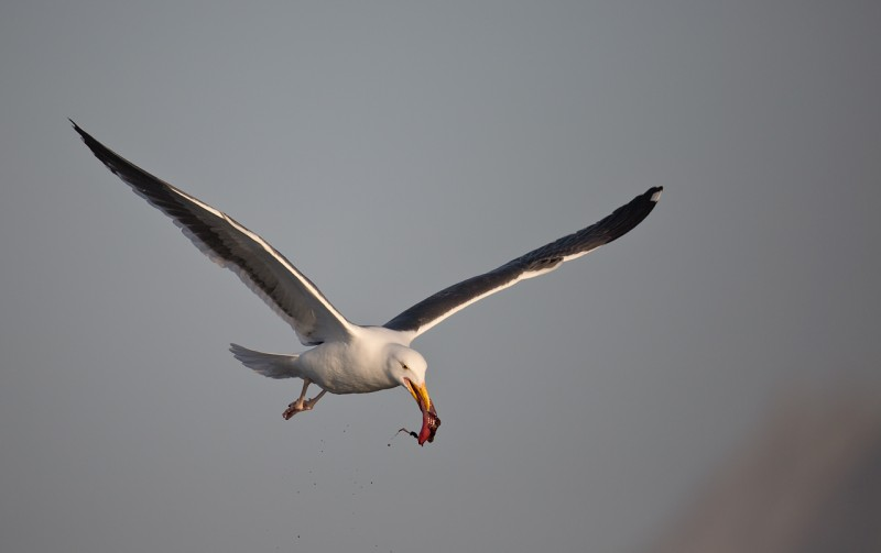 western-gull-with-bloody-prey-item-_a1c3159-morro-bay-ca