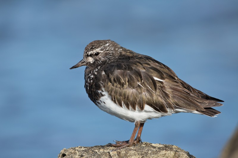 black-turnstone-on-rock-_a1c4406-morro-bay-ca