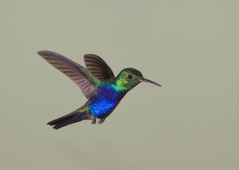 violet-bellied-hummingbird-male-_mg_3790-canopy-tower-panama