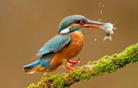 behavior-kevin-elsby-kingfisher-landing-with-prey