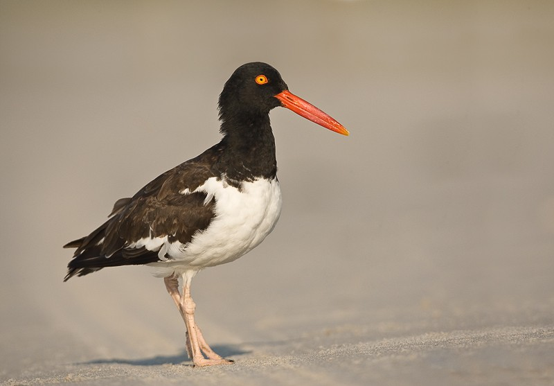american-oystercatcher-post-breeding-_d4i1383-nickerson-beach-long-island-ny