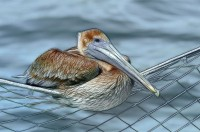 digital-andrew_mclachlan_brown_pelican_2769-fractalius