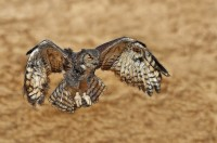 digital-andrew_mclachlan_great_horned_owl_2621-fractalius__1_