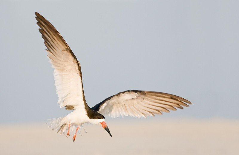 black-skimmer-landing-_10j0780-nickerson-beach-long-island-ny