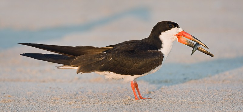 black-skimmer-w-killifish-stitched-panorama-_d4i1110-nickerson-beach-long-island-ny