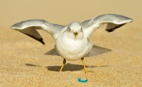 man-rodney-russell-flowers-20120126_ring-billed_gull_mg_3586-edit-2