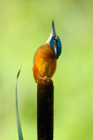 portrait-jakob-damborg-kingfisher