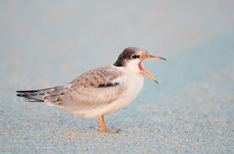 common-tern-juvenile-begging-_d4i1079-nickerson-beach-long-island-ny