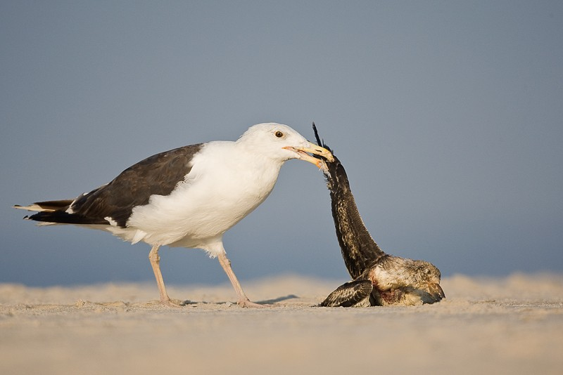 great-black-backed-gull-lifting-dead-skimmer-by-wing-_d4i1230-nickerson-beach-long-island-ny