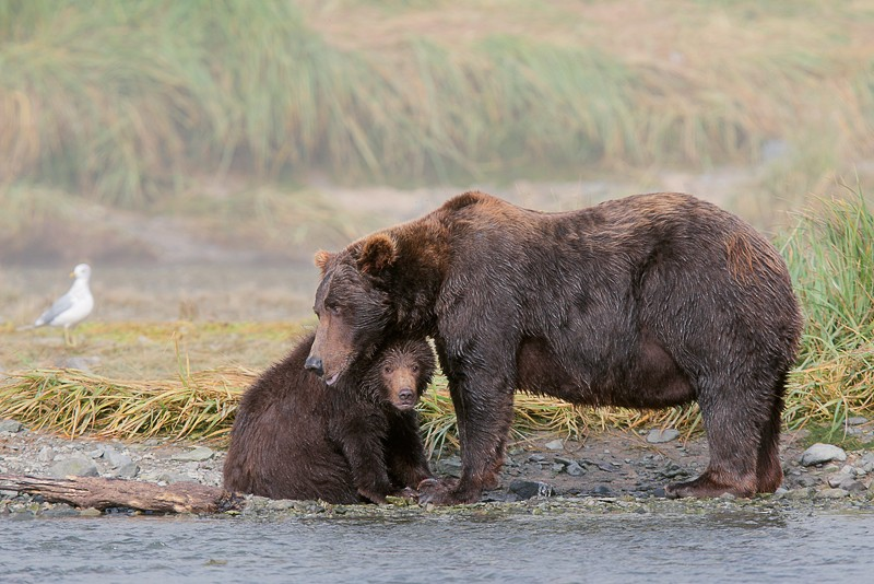 brown-bear-protective-momma-and-cub-improved-_d4i2606-geographic-harbor-katmai-national-park-akc