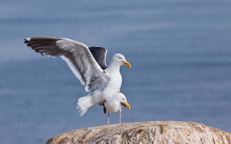 western-gull-pre-copulatory-stand-_a1c7010-la-jolla-ca