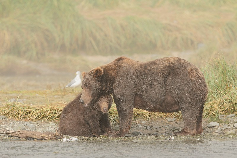 d4i2606-geographic-harbor-katmai-national-park-akc