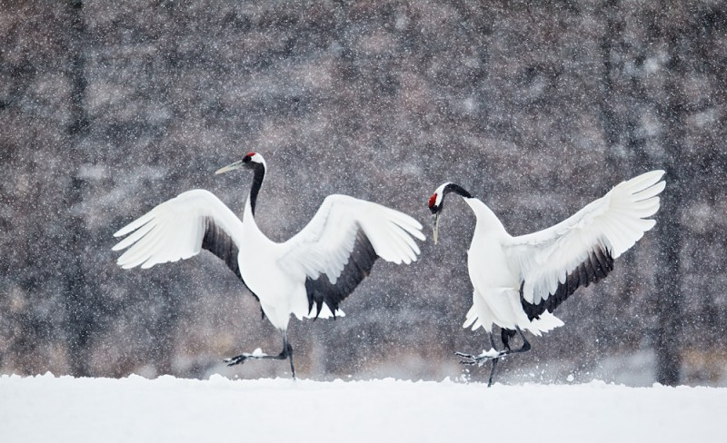 red-crowned-crane-coursthip-display-_90z9943-tsurui-itoh-sanctuary-hokkaido-japan