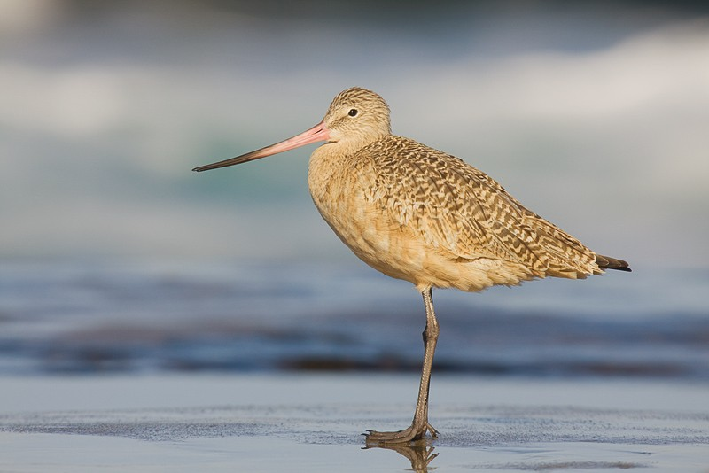 marbled-godwit-on-rock-_mg_6377-lajolla-ca