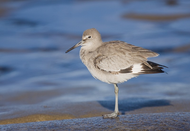 willet-western-race-with-wings-lowered-_mg_6416-lajolla-ca