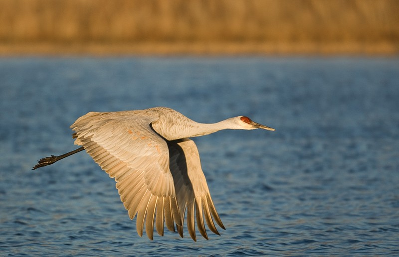 sandhill-crane-downstroke-flight-blue-water-_m4o7729-bosque-del-apache-nwr-san-antonio-nm