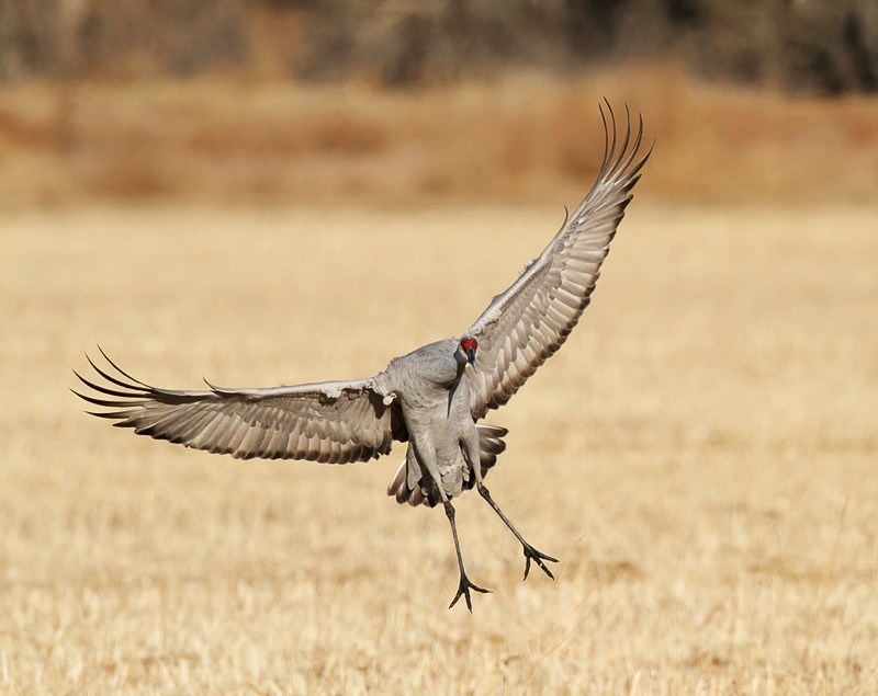 sandhill-crane-landing-two-birds-removed-7d-img_0282-bosque-del-apache-nwr-san-antonio-nm