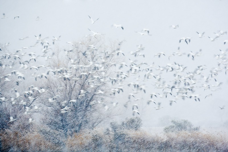 snow-geese-in-snow-storm-_60j9496-bosque-del-apache-nwr-san-antonio-nm