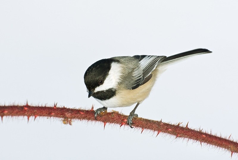 black-capped-chickadee-on-thorny-prech-9m4o1180-morton-nwt-noyac-ny