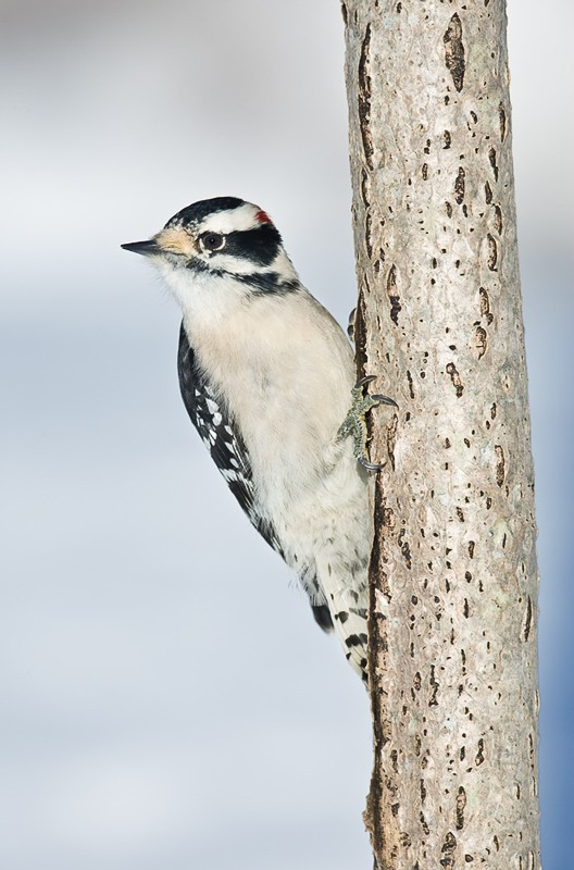 downy-woodpecker-male-9m4o0387-morton-nwt-noyac-ny