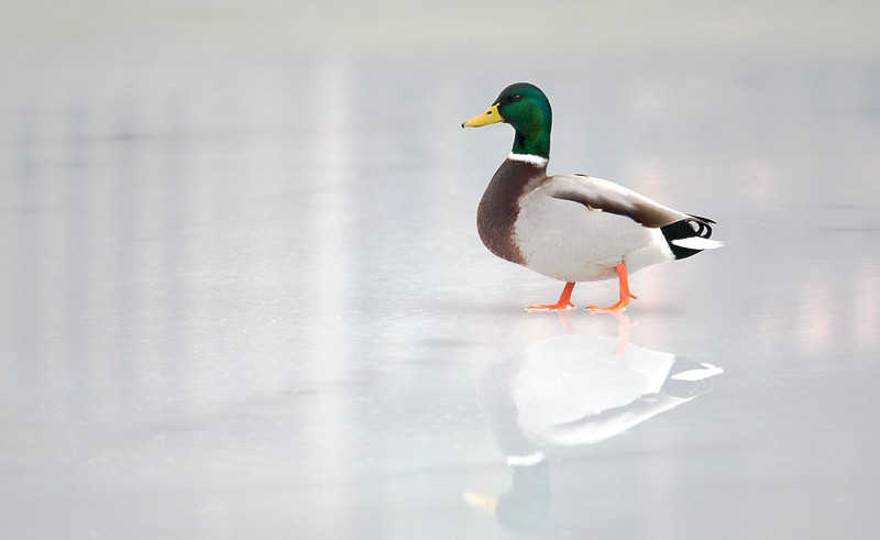 mallard-drake-on-ice-9m4o2438-holbrook-ny