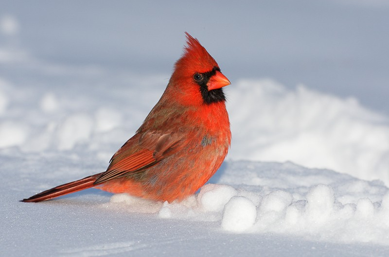 northern-cardinal-male-on-snow-9m4o1344-morton-nwt-noyac-ny