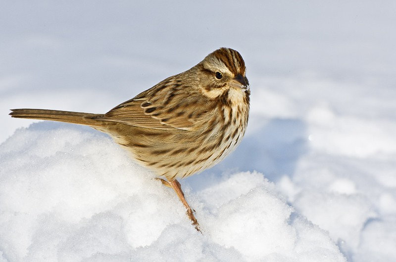 song-sparrow-in-snow-9m4o1177-morton-nwt-noyac-ny