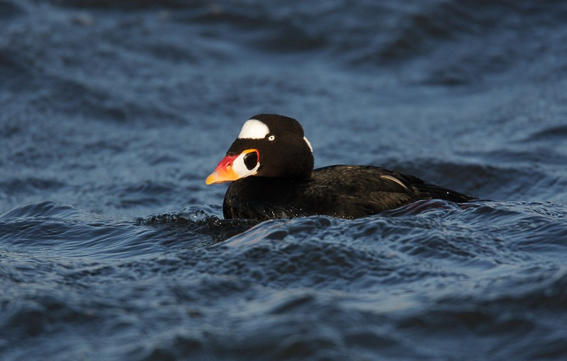 white-winged-scoter-drake-_m4o2530-barnegat-inlet-nj