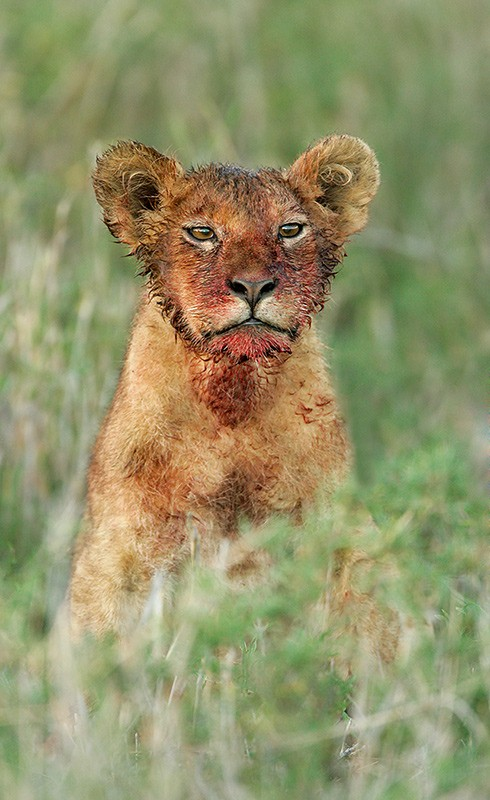 african-lion-cub-w-bloody-face-from-kill-_l8x9999-ndutu-tanzania4