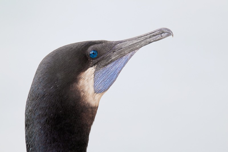 brandts-cormorant-showing-gular-pouch-cy9c0123-lajolla-ca