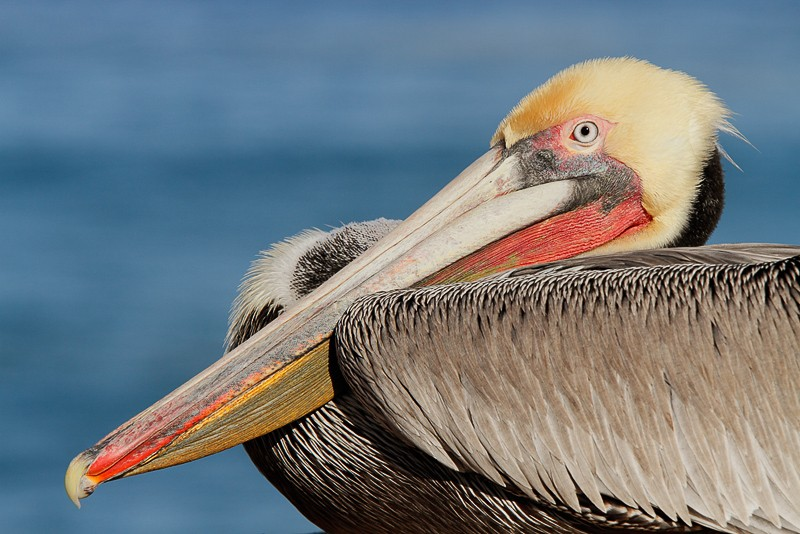 brown-pelican-resting-front-end-70-200-_mg_1116-lajolla-ca1