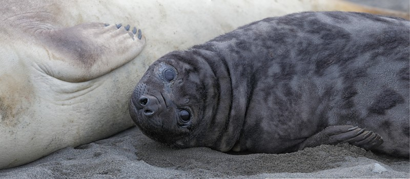 elephant-seal-pup-panorama_q8r9324-fortuna-bay-south-georgia