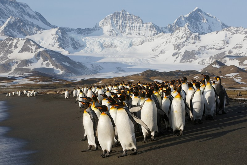 king-penguins-headed-for-ocean-sidelit-early-morning-light-_a1c0084-st_0