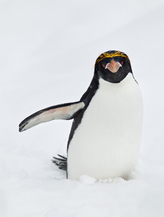 marcaroni-penguin-crop-2-1558