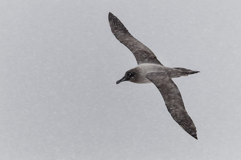 light-mantled-sooty-albatross-flying-through-falling-snow-cooper-bay-south-georgia