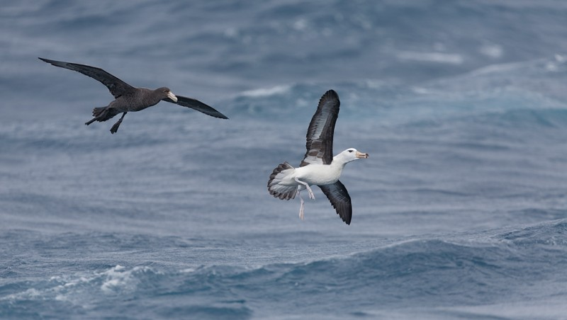 northern-giant-petrel-chasing-black-browed-albatross-_a1c6375-scotia-sea-south-atlantic-ocean